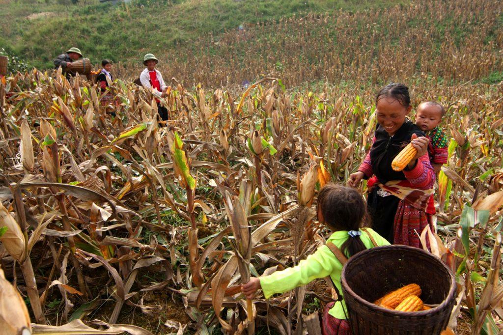 Thu hoạch ngô trên cao nguyên đá Đồng Văn