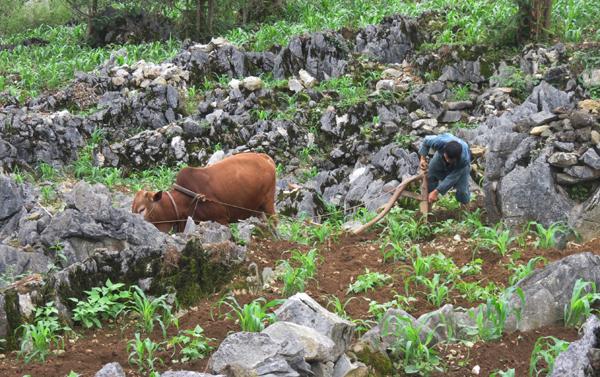 Trồng ngô trên cao nguyên đá Đồng Văn
