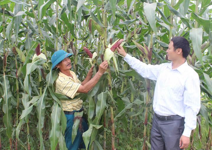 Ngô tím được trồng rộng rãi ở ngoại thành Hà Nội